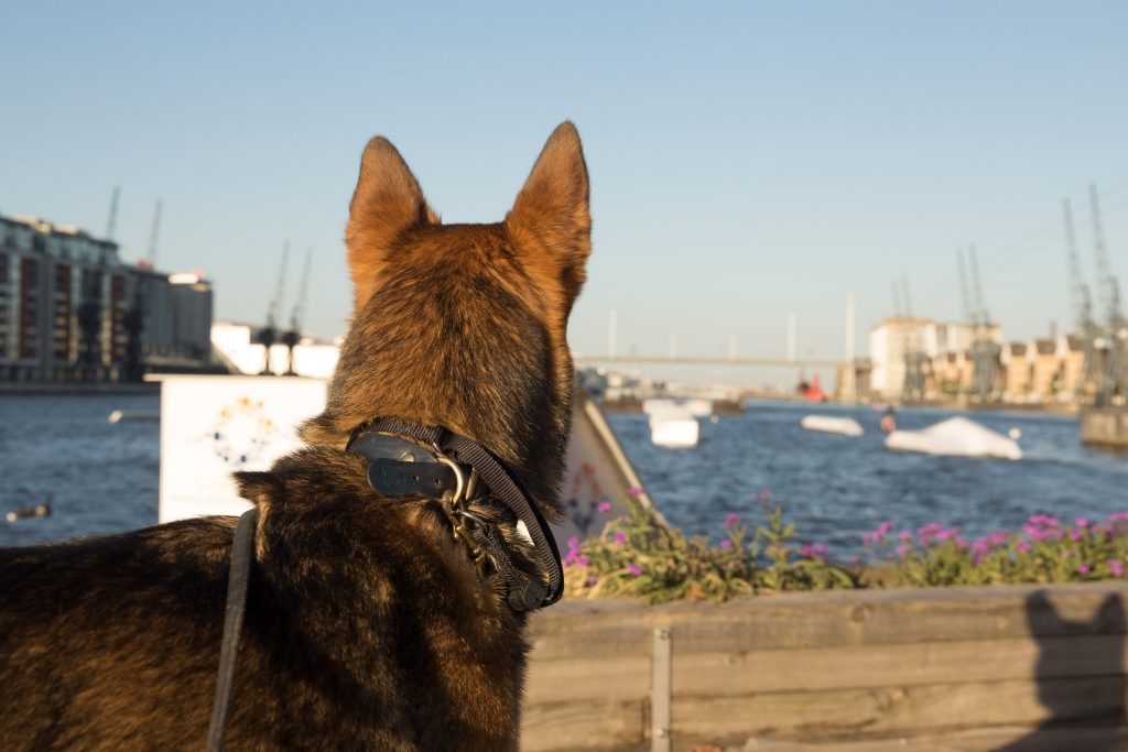 Dog looks at Royal Docks body of water