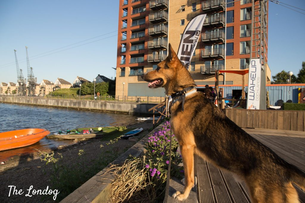 Large dog waits on dock lookig at the body of water near Wakeup Docklands