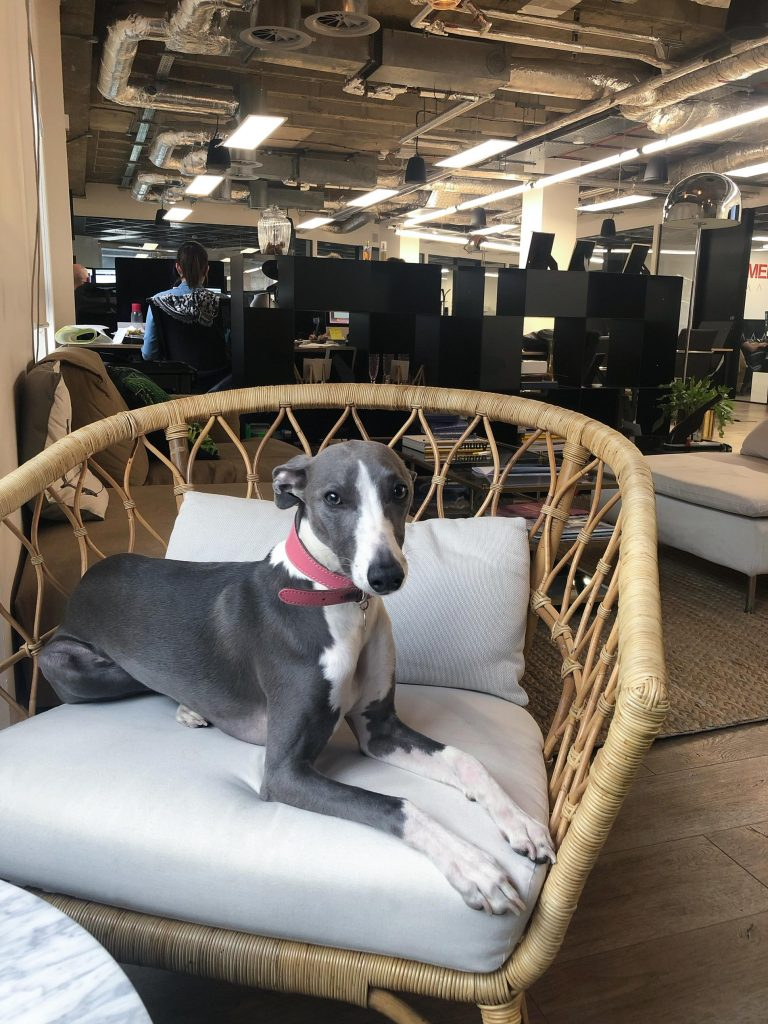 Whippet sits on chair at dog-friendly workspace LABS