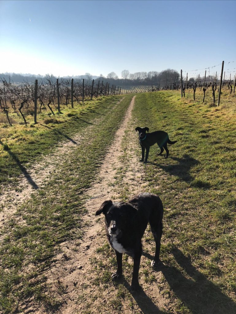 Two dogs stand looking at the camera in a vineyard