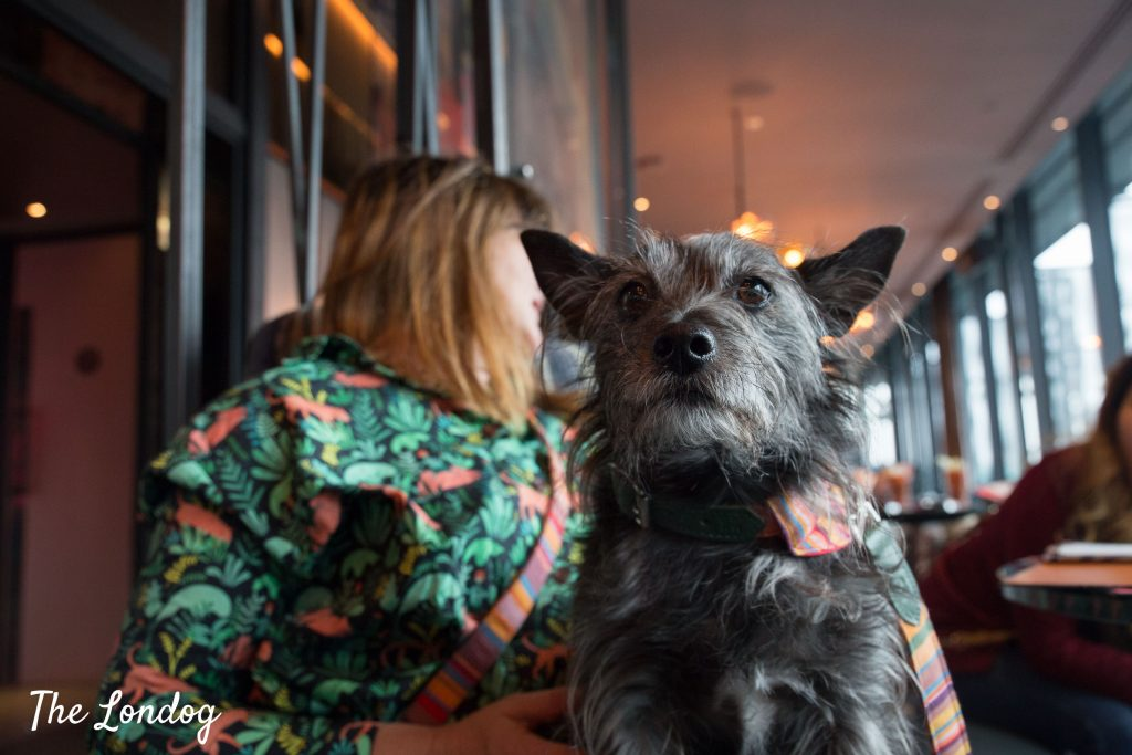Wolf the terrier mutt sits on his owner's lap during brunch