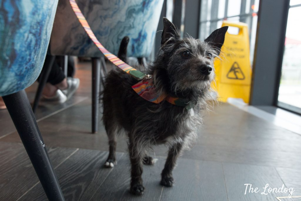 Wolf the terrier stands in the indoor part of the Savage Garden rooftop wearing colourful leash and bandana