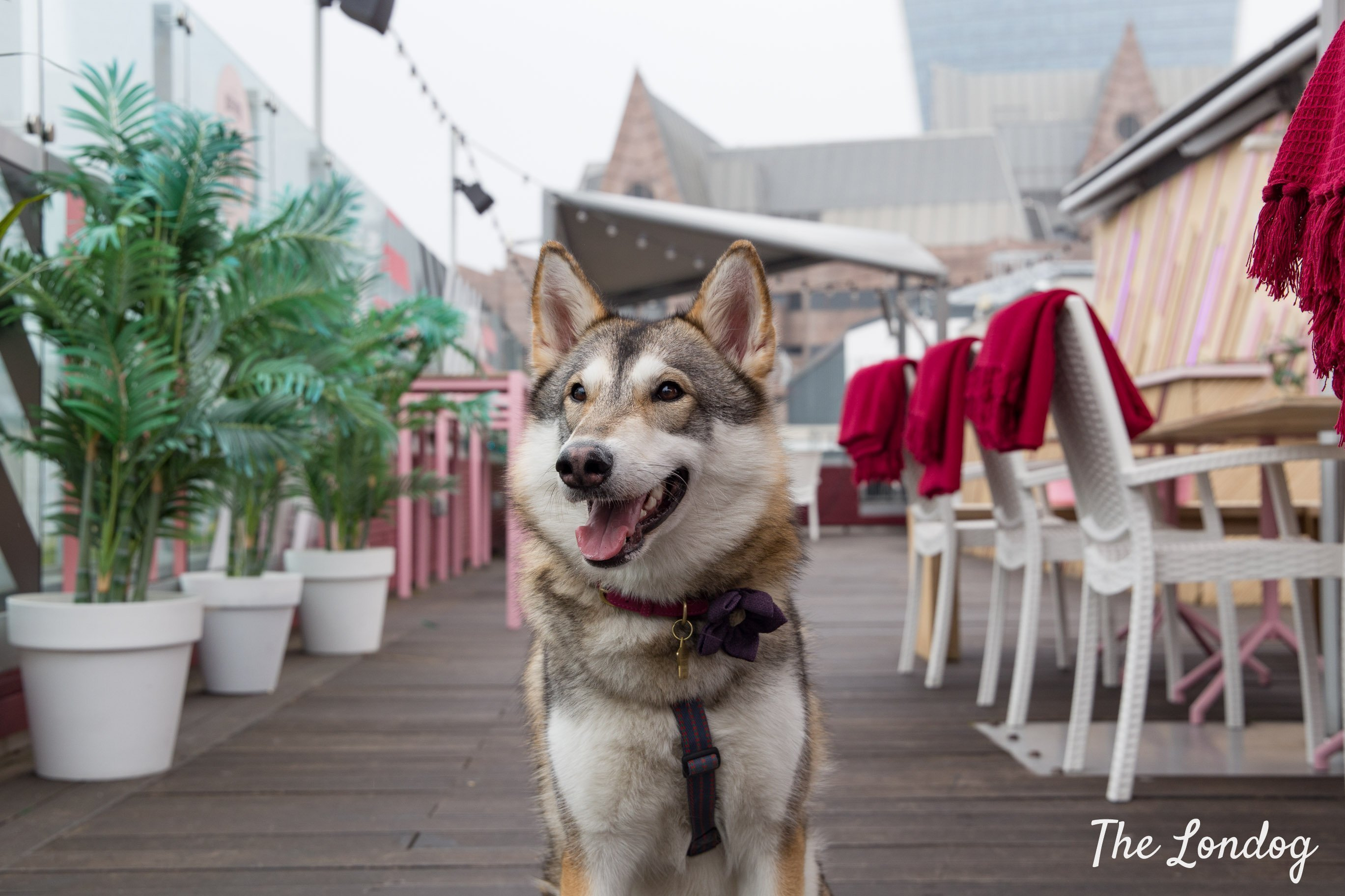 Dog on deck at Savage Garden rooftop between plants and tables with Walkie-Talkie on the background