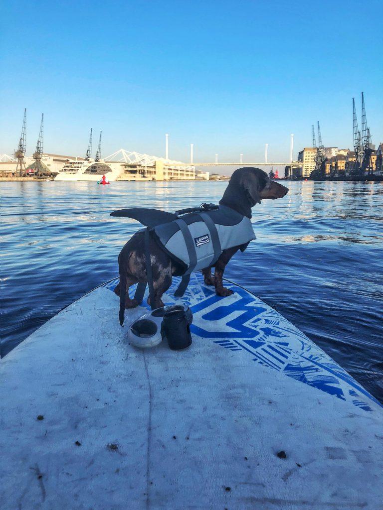 Sausage dog with shark lifejacket on paddle board