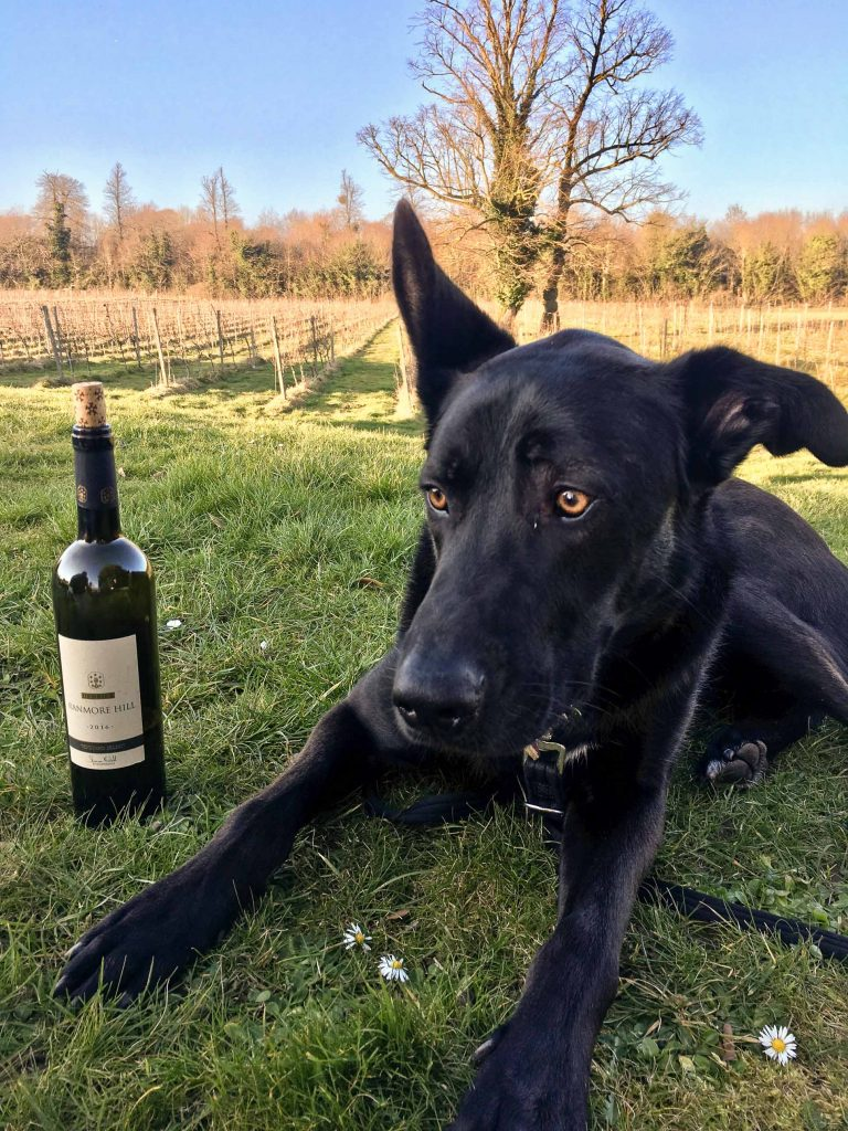 Large black dog on the grass near a bottle of wine at dog-friendly vineyard Denbies