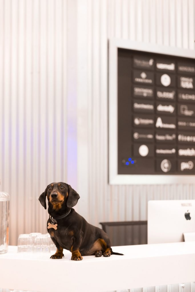 Sausage dog on counter at reception of coworking space Huckletree West