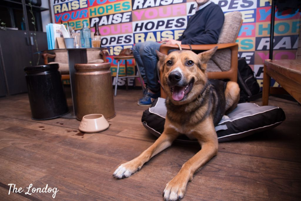 Large dog sits on dog bed at Ace Hotel bar waiting for his Pup Gourmand dish