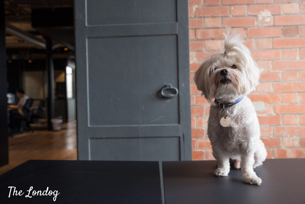 Small dog at dog-friendly coworking space The Ministry in Borough