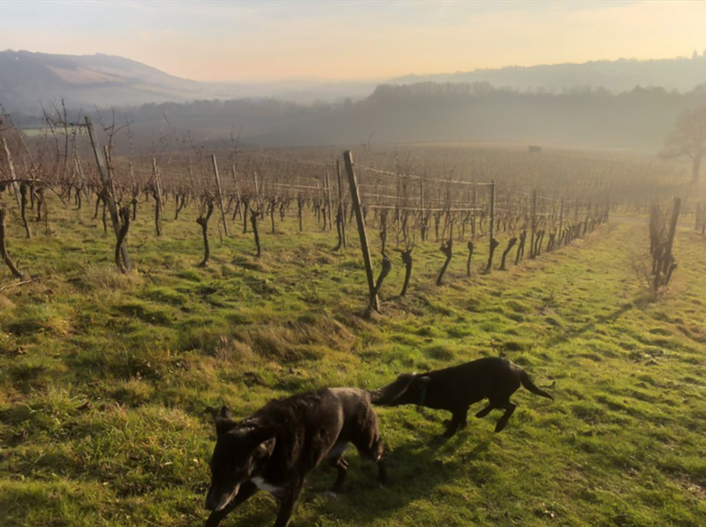 Two dark-coloured dogs run up the hill in a vineyard at sunset