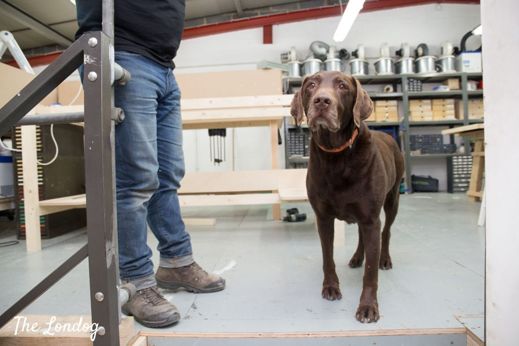 Chocolate labrador office dog at the studio