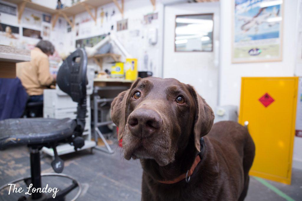 Labrador looks up at workshop