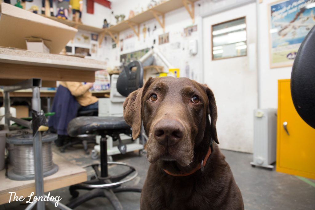 Chocolate labrador office dog in a workshop