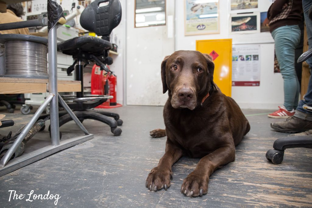 Labrador lies on the floor at workshop