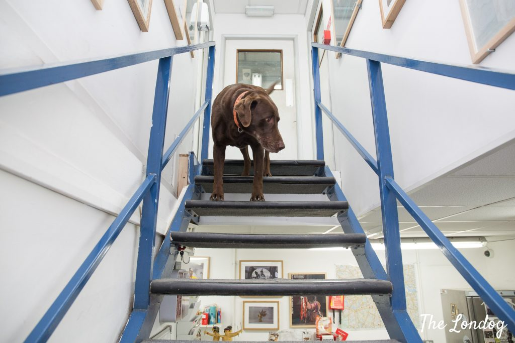 Charlie the labrador on top of the stairs at AMS