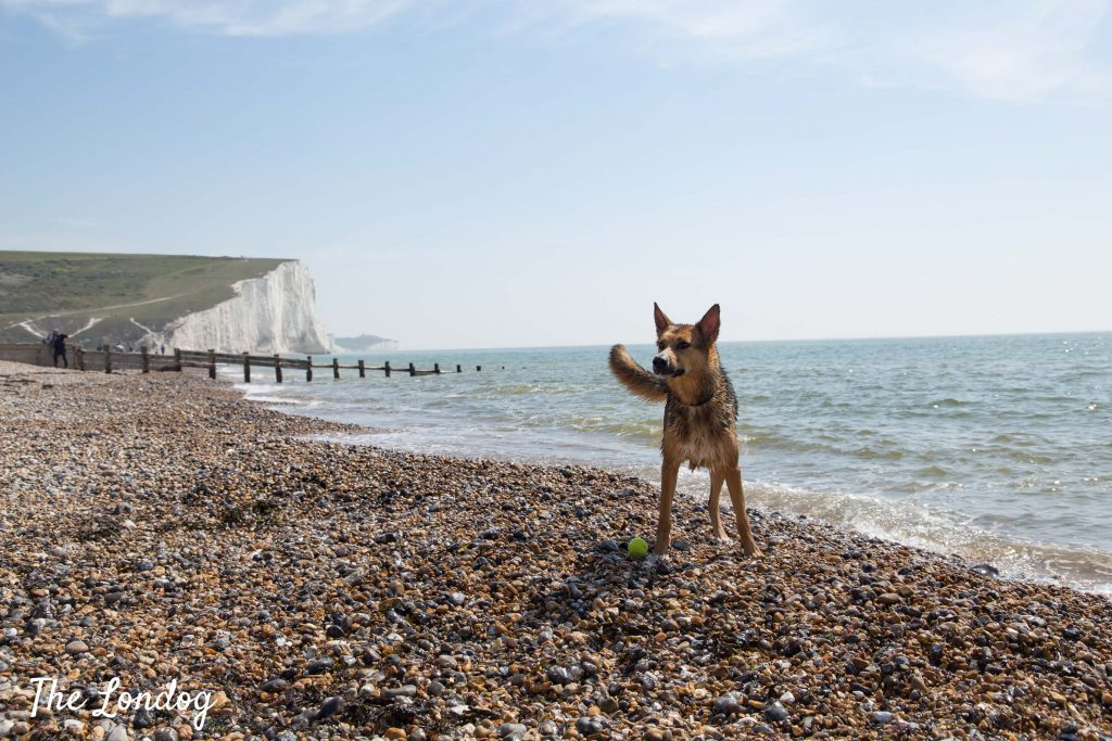 Dog plays fetch at the Cuckmere Haven beach