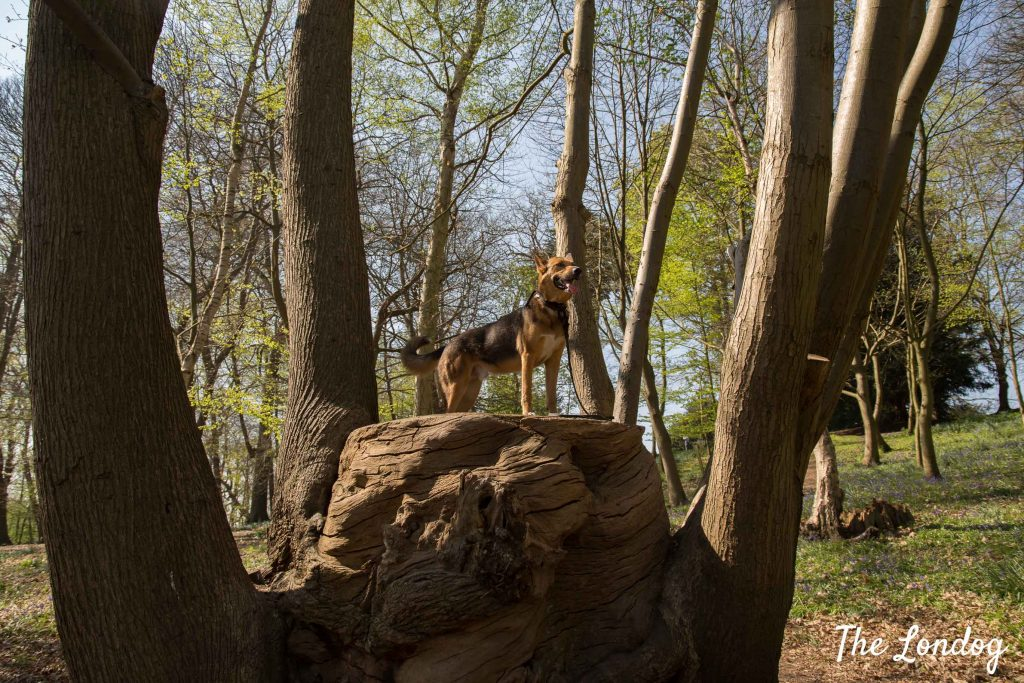 Dog stands on tree trunk at Painshill