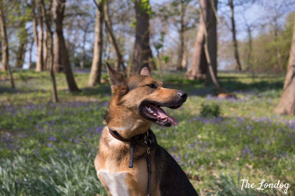 Dog sits on bench with bluebells in the background at Painshill park