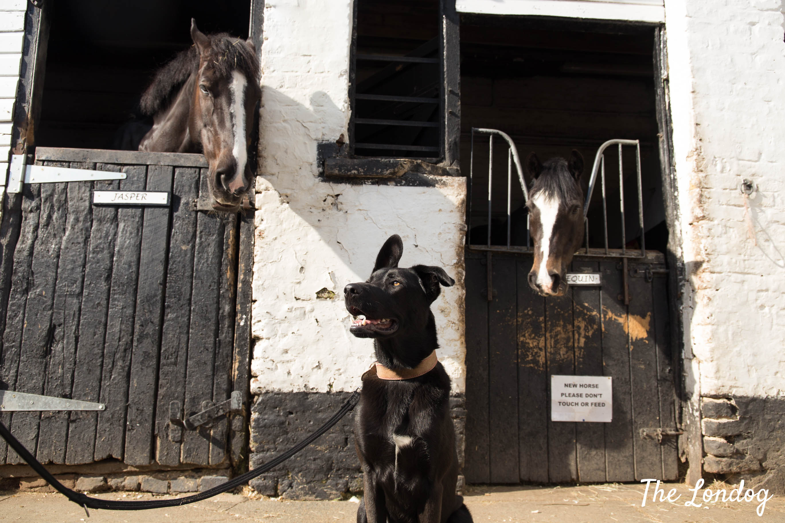 Black dog with two horses at stables