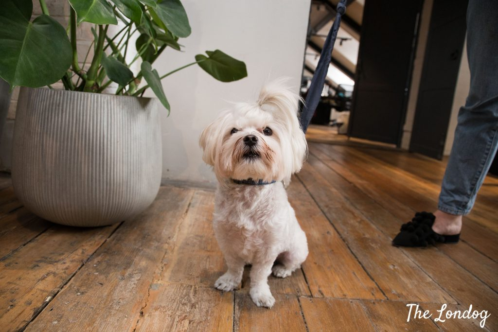 Small white office dog sits on wooden floor