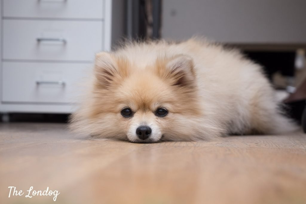 pomeranian office dog on the floor