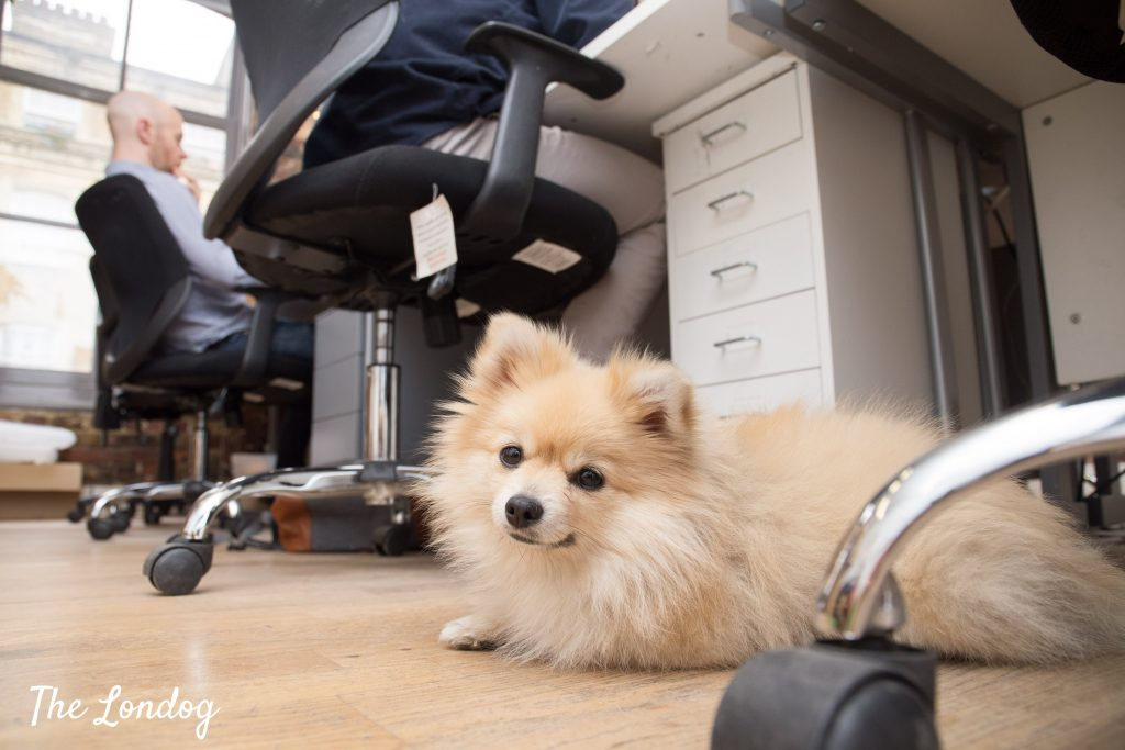 office dog lies down near desk