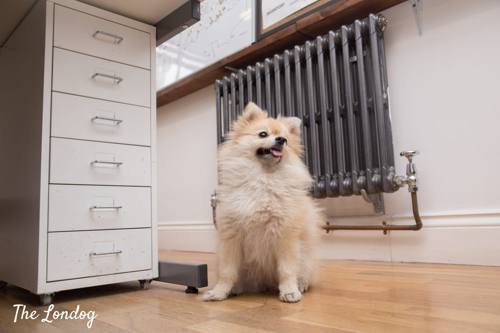 Pomeranian office dog photo