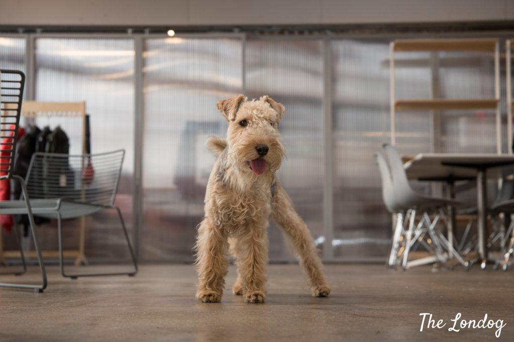 Office dog of Rains showroom