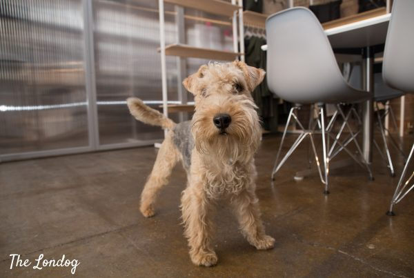 Office dog terrier stands next to meeting table