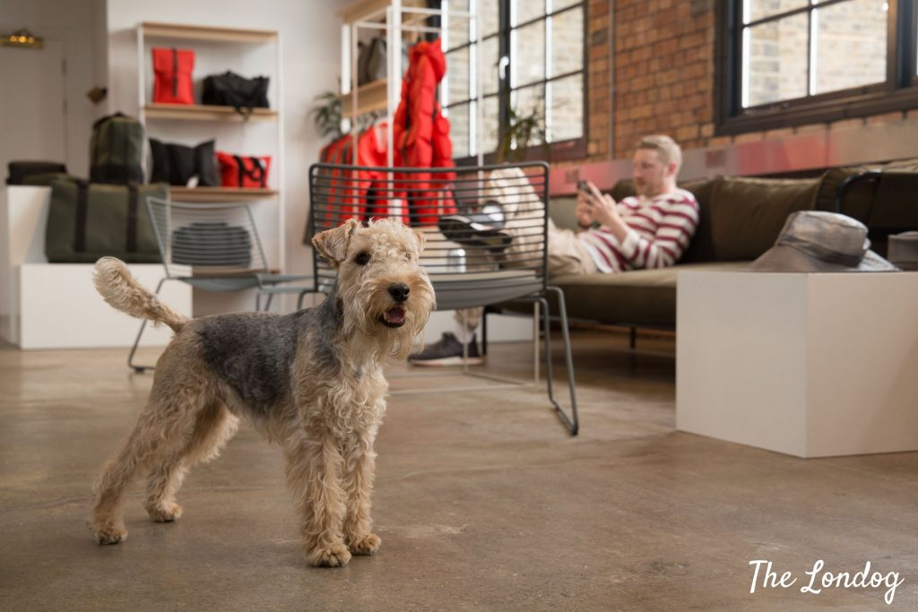Office dog Paul the Lakeland Terrier stands looking at something while his owner sits in the background