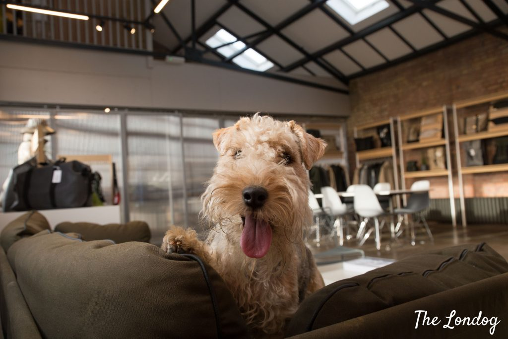 Office dog on sofa