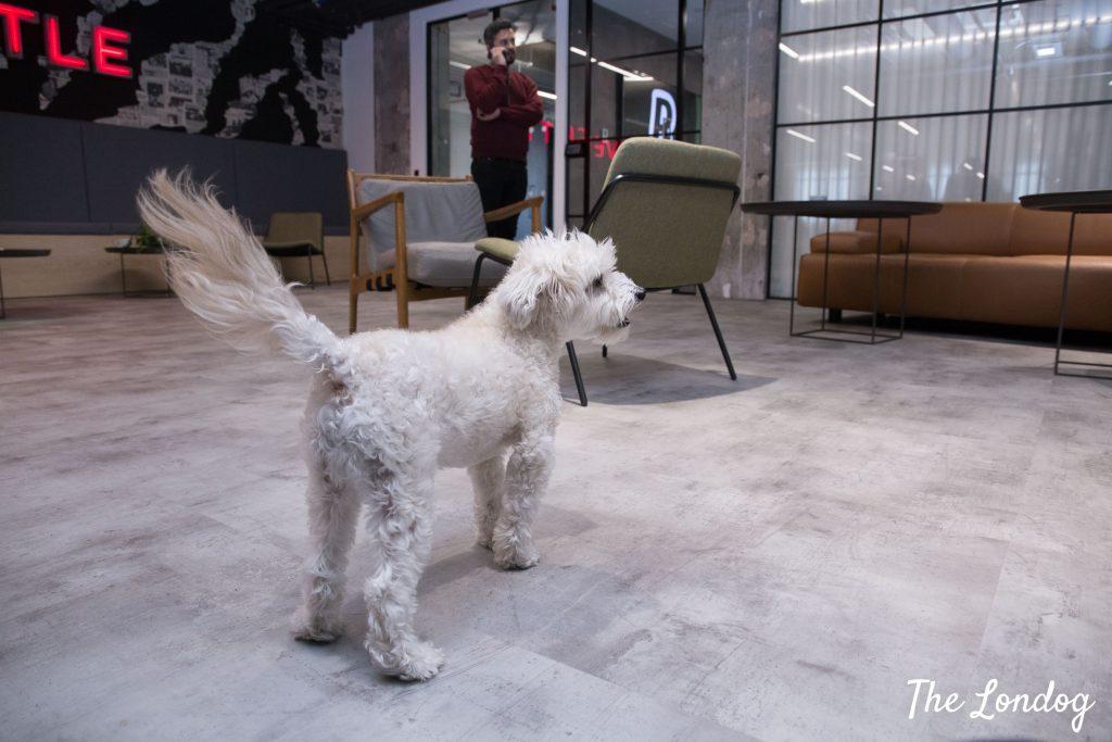 Little white dog at Revolut office