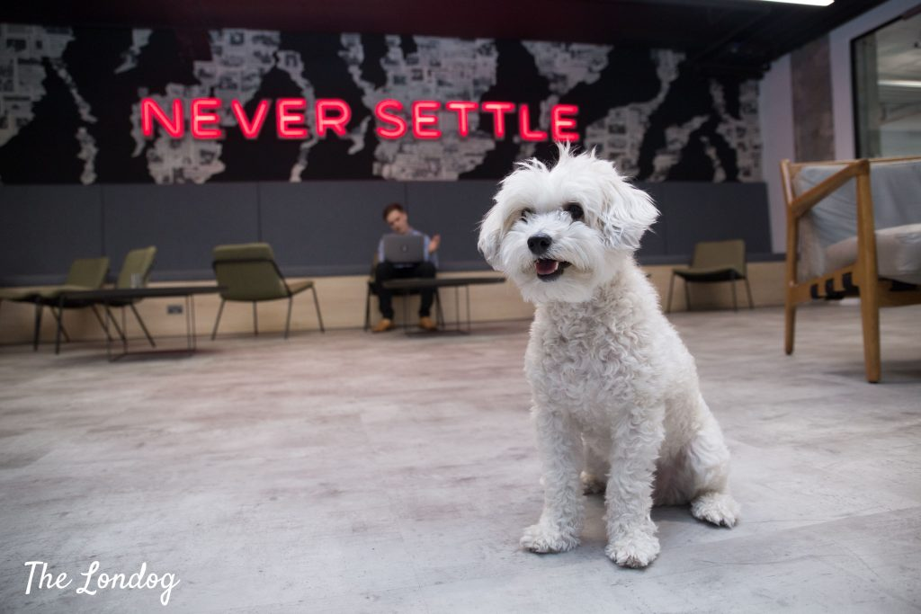 Small white office dog at Revolut offices in Canary Wharf