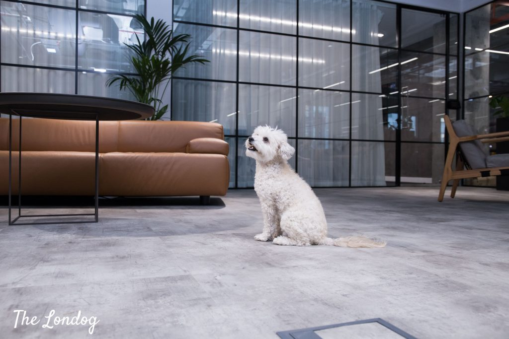 Small office dog in the entrance area near a sofa