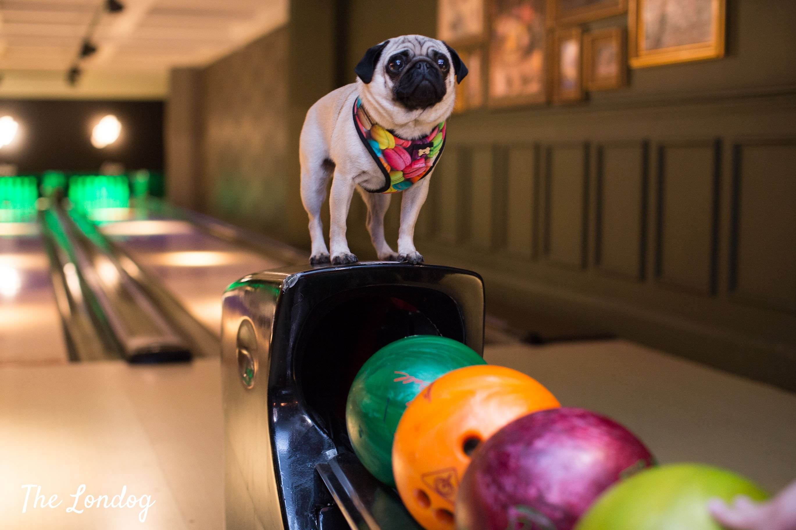 Dog at bowling lane