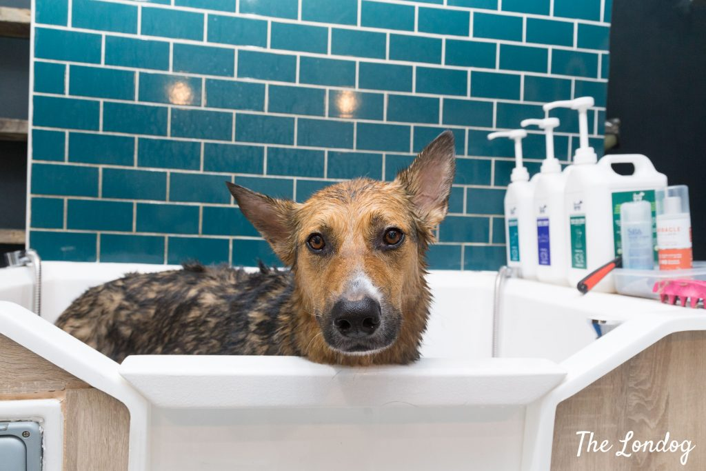 Large dog in professional grooming bathtub