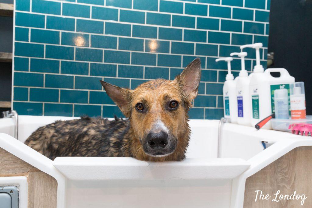 Large dog in professional grooming bathtub