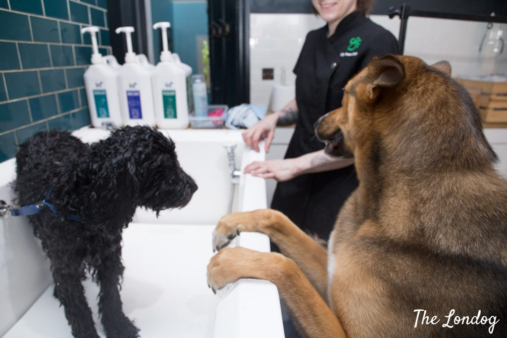 large dog perches on bathtub to see other dog being washed