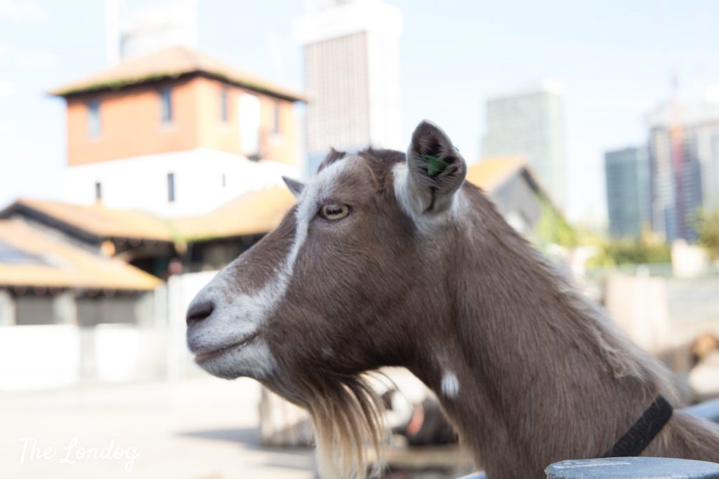 goat at city farm in London