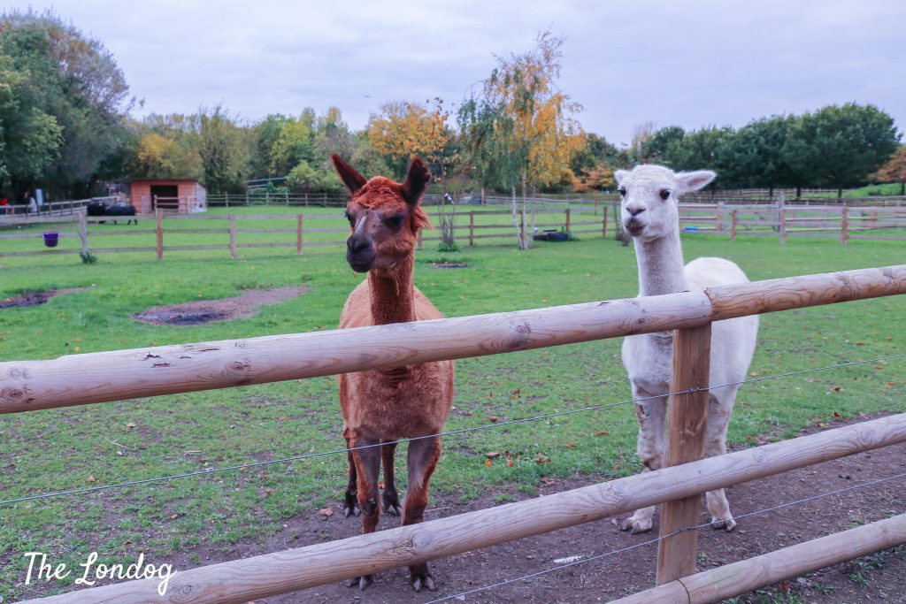 Alpacas at Mudchute