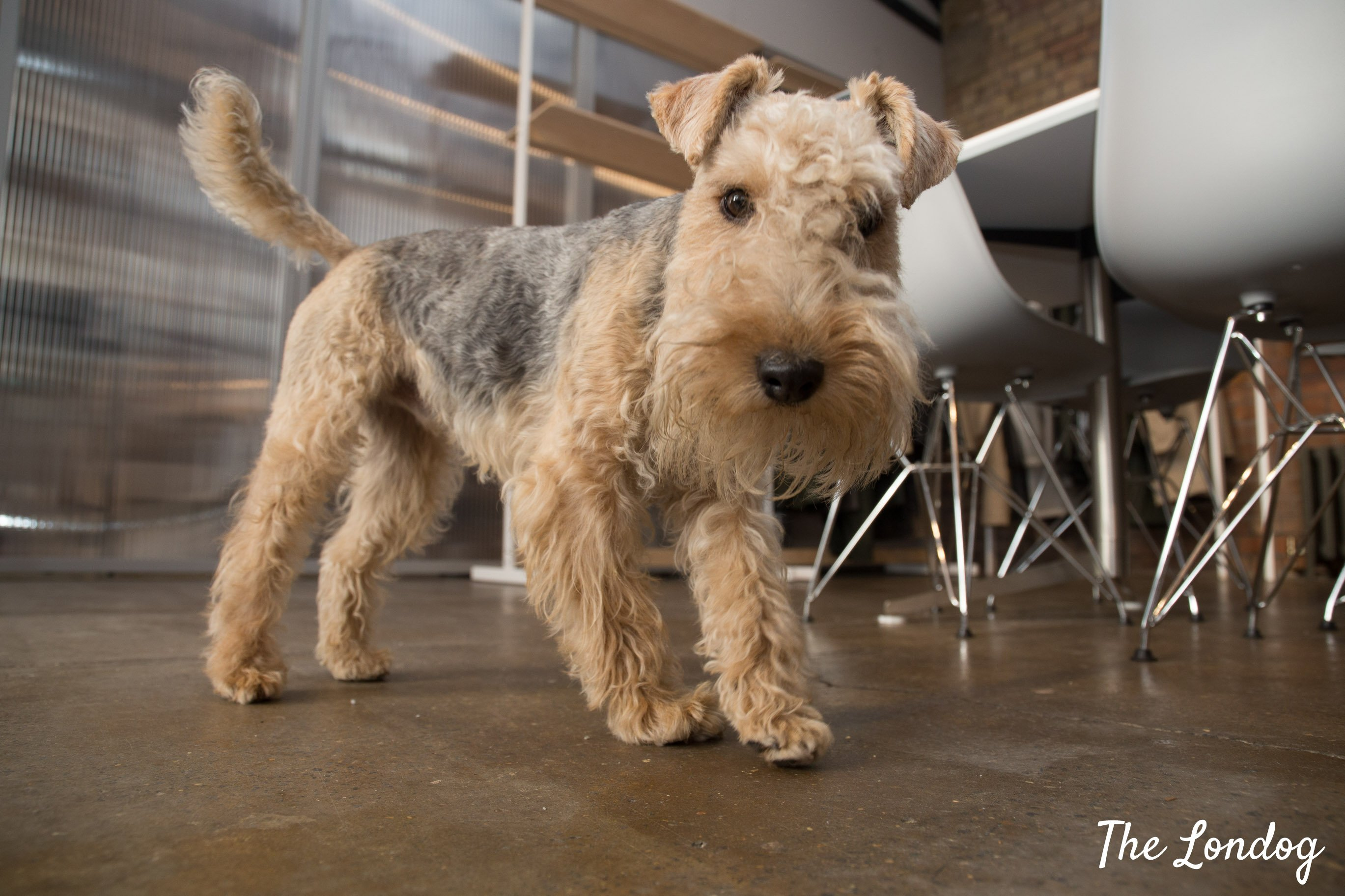 Office dog Lakeland terrier Paul looks into the camera at Rains offices