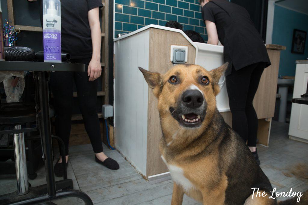 dog with deodorant after bath
