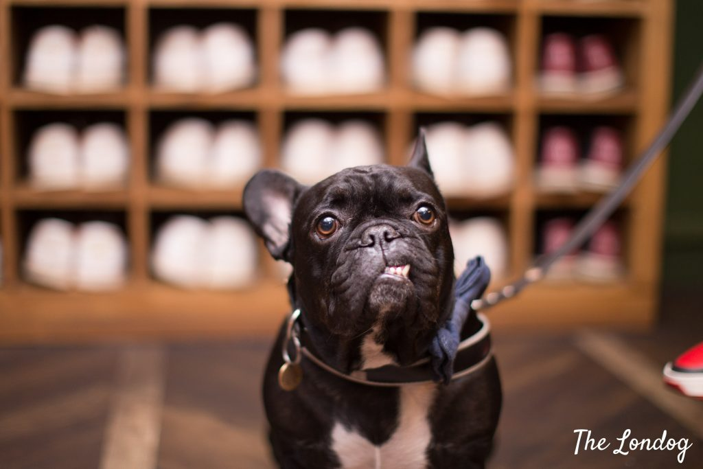 Frenchie near bowling shoes