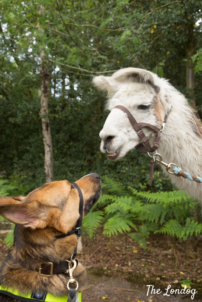 Dog and llama look at each other