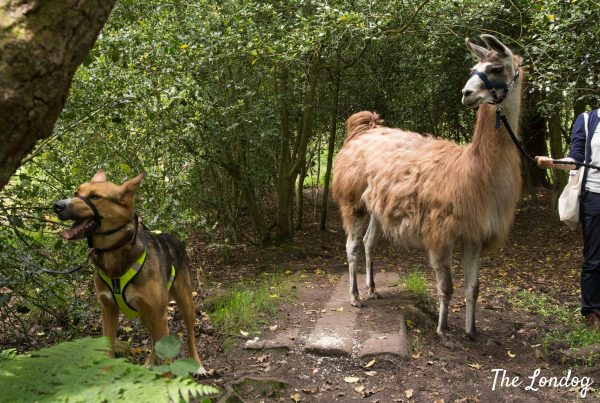 Dog and llama during trekking