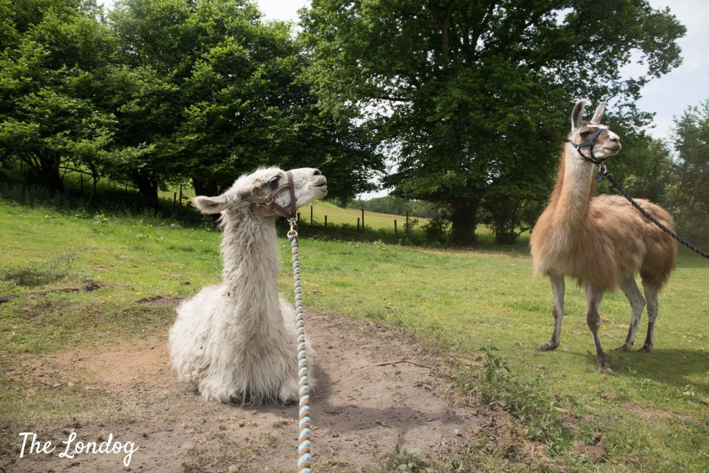 two llamas in sand pit