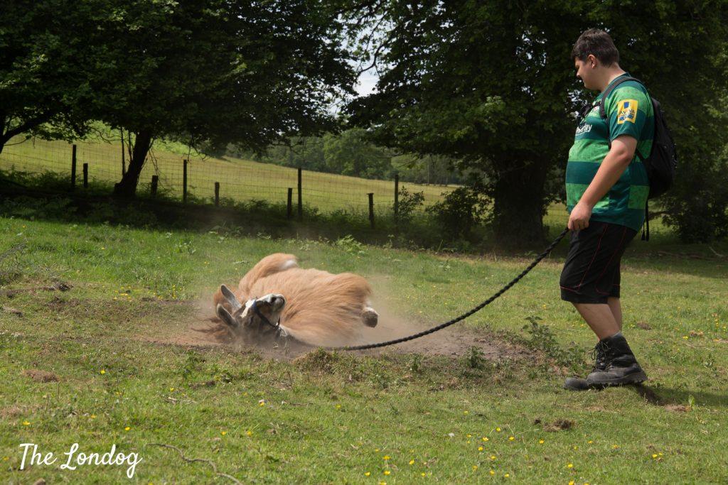llama rolling in sand