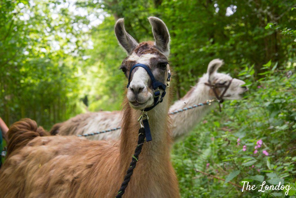 Two llamas on a dog-friendly trekking