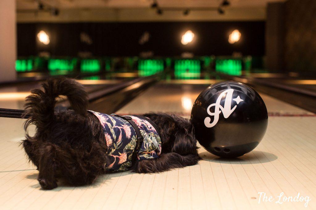 Dog looking at bowling ball