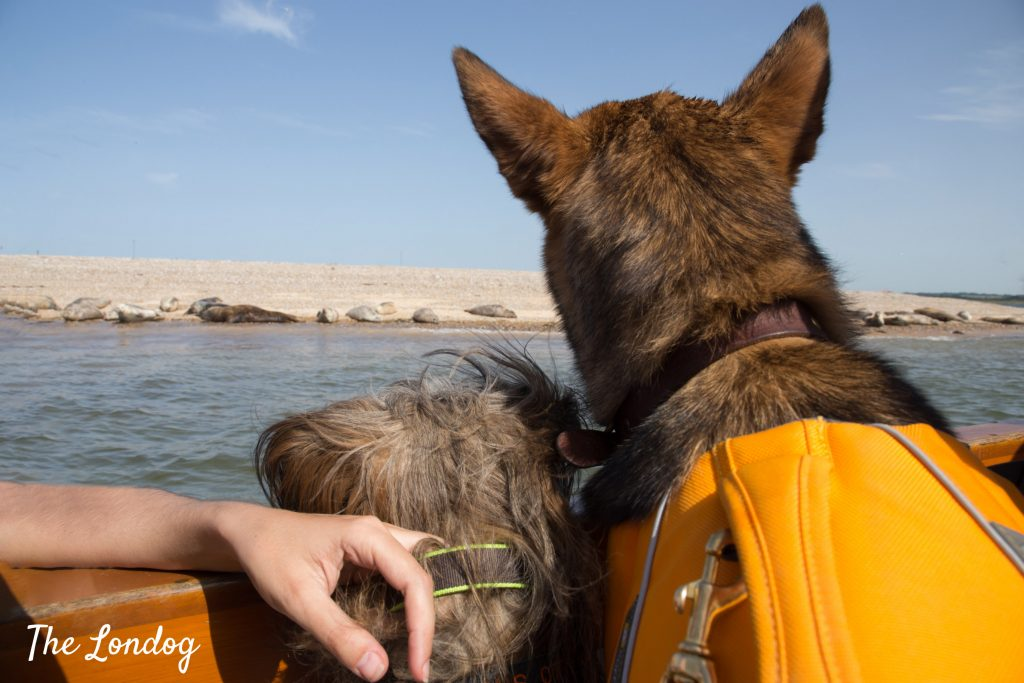 Dogs looking at seals from boat