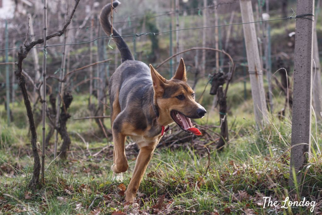 dog running in vineyard